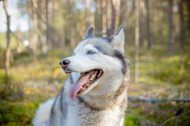 Cane in natura. husky siberiano che cammina nella foresta. cane che cammina all'aperto. cane divertente sveglio in parco soleggiato