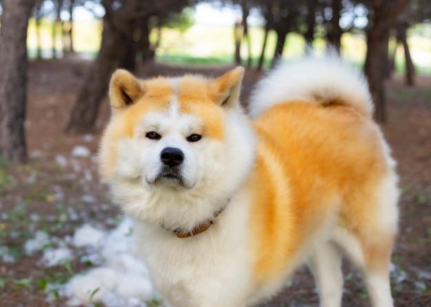 Cane in una foresta della razza di akita inu