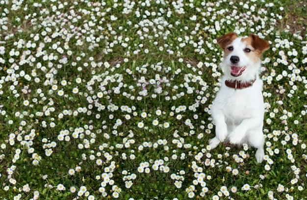 Cane jack russell in piedi su due gambe su fiori margherita primavera.