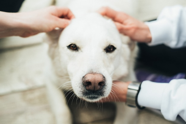 Cane labrador bianco si trova su un pavimento di legno e la gente picchietta sulla testa. il cane è un amico dell'uomo. fiducia e amicizia