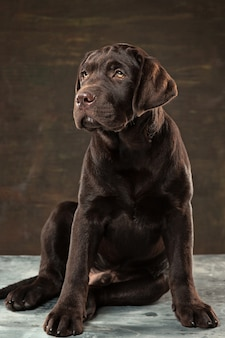 Cane labrador nero preso su uno sfondo scuro.