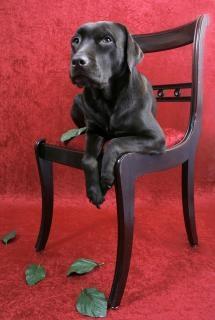 Cane labrador sulla sedia