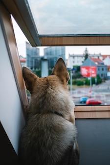 Cane lupo guardando fuori dalla finestra