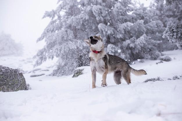 Cane lupo nella neve