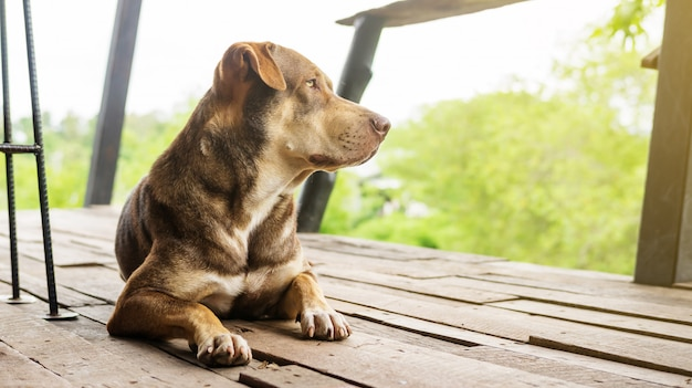 Cane marrone che si siede su un balcone che aspetta il suo capo.
