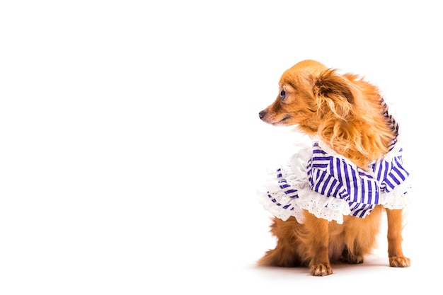 Cane marrone con abbigliamento blu spogliato da compagnia isolato su sfondo bianco