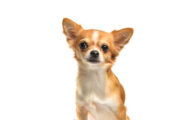 Cane marrone della chihuahua su fondo bianco
