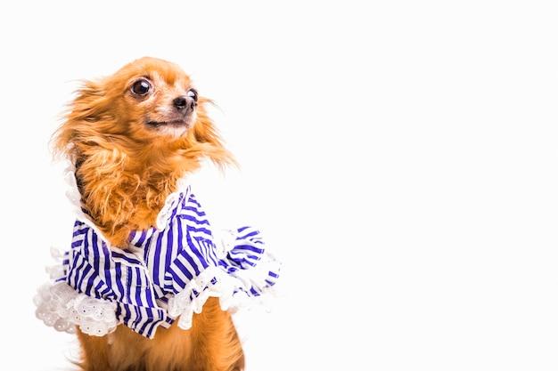 Cane marrone vestito isolato su fondo bianco