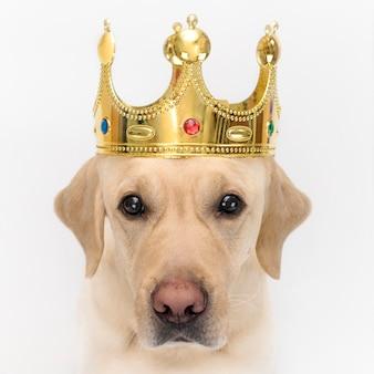 Cane nella corona, come un re. ritratto di un primo piano di un cane su wihte