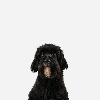 Cane nero adorabile che posa con il fondo bianco