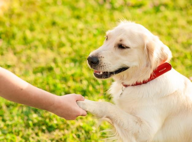 Cane obbediente del golden retriever con il suo padrone che pratica il comando della zampa