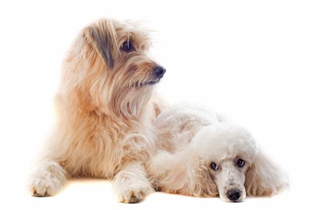 Cane pastore e barboncino pirenaici su bianco