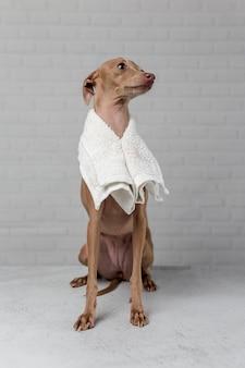 Cane piccolo italiano si prepara per il bagno