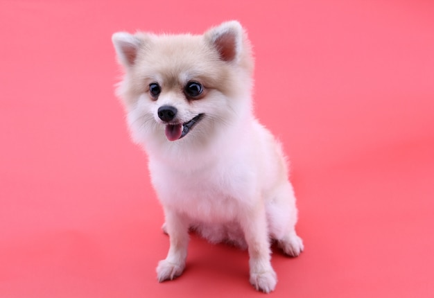 Cane pomeranian bianco su rosso
