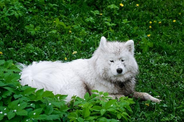 Cane samoiedo che risiede nell'erba verde