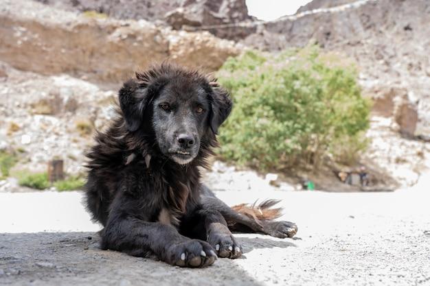 Cane senza casa nel leh ladakh del nord dell'india