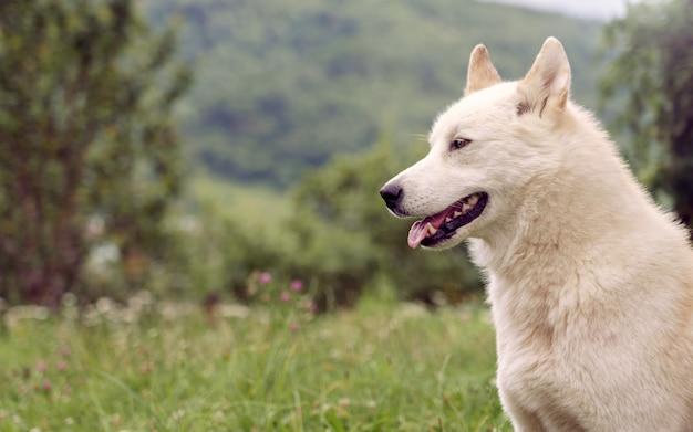 Cane siberiano di laika nella natura all'aperto