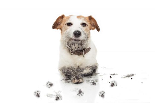 Cane sporco felice. jack russell mischief dopo il gioco in una puddle di fango. isolato