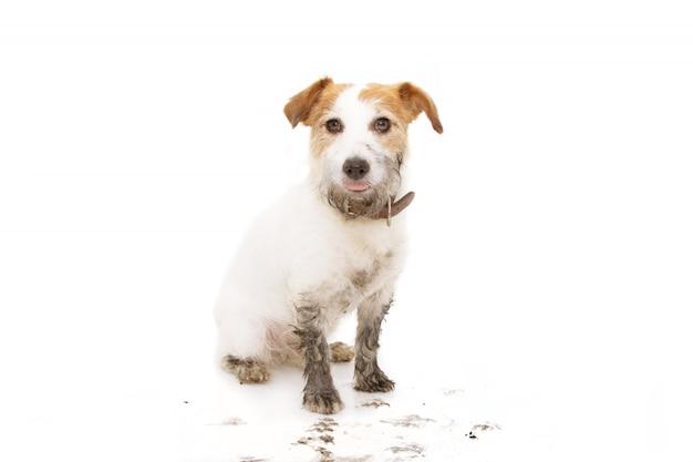 Cane sporco isolato di jack russell dopo gioco in una seduta della pozza di fango