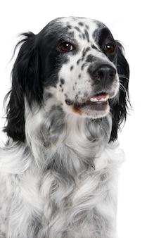 Cane springer spaniel inglese con 6 anni. ritratto di cane isolato