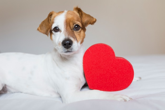 Cane sveglio che si siede sul letto con un cuore rosso. concetto di san valentino. animali domestici al chiuso
