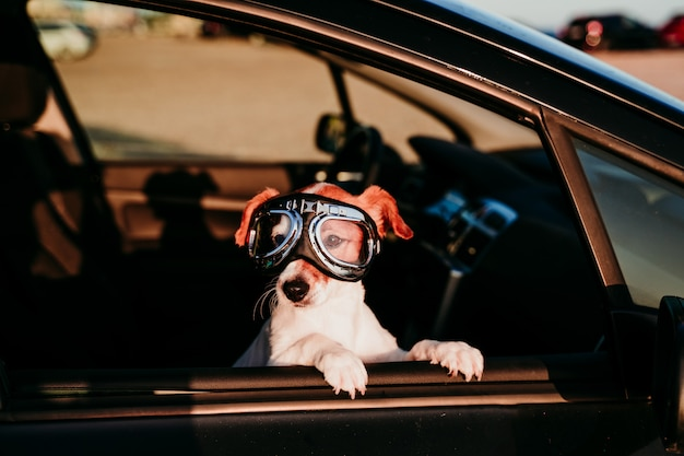 Cane sveglio che viaggia in un'automobile che indossa gli occhiali di protezione d'annata al tramonto