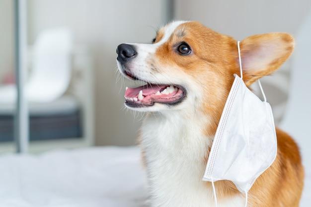 Cane sveglio del corgi che posa nella maschera medica.