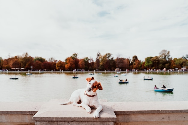 Cane sveglio del jack russell che fa una pausa il lago park di retiro a madrid. animali all'aperto