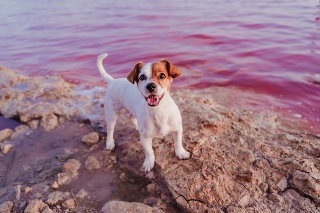 Cane sveglio del piccolo russell terrier della presa che fa una pausa un lago rosa