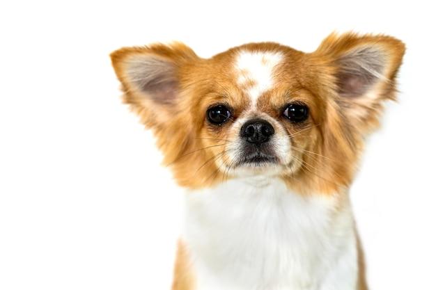Cane sveglio della chihuahua isolato su fondo bianco