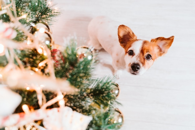 Cane sveglio di jack russell a casa dall'albero di natale