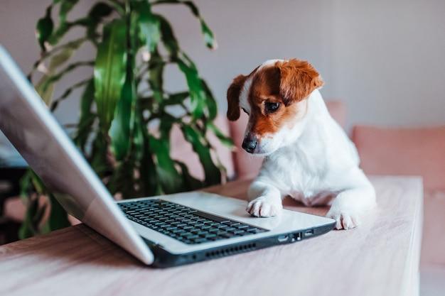 Cane sveglio di jack russell che lavora al computer portatile a casa. concetto di tecnologia