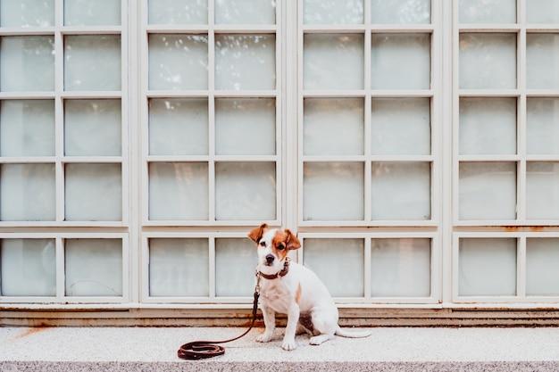Cane sveglio di jack russell che si siede all'aperto. sfondo della finestra
