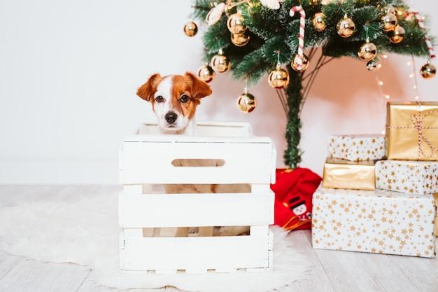 Cane sveglio di jack russell in una scatola a casa dall'albero di natale