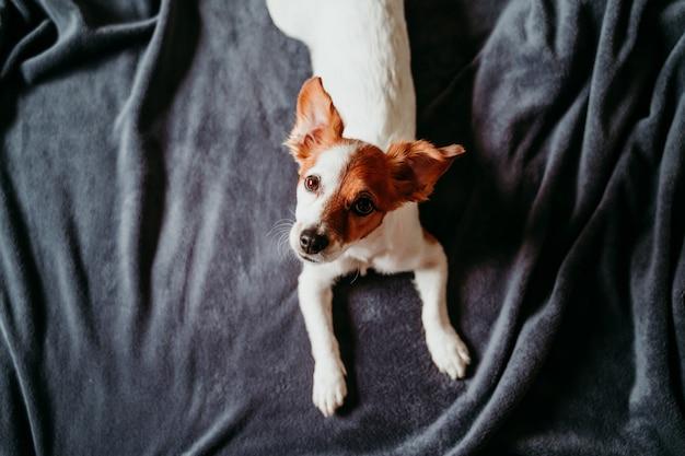 Cane sveglio di russell della piccola presa che si trova sul letto su una coperta grigia. guardando nella telecamera