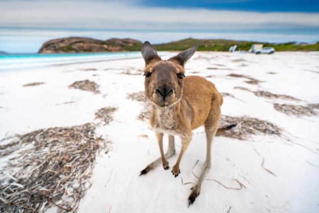 Canguro a lucky bay nel cape le grand national park