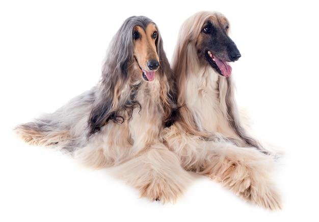 Cani afgani