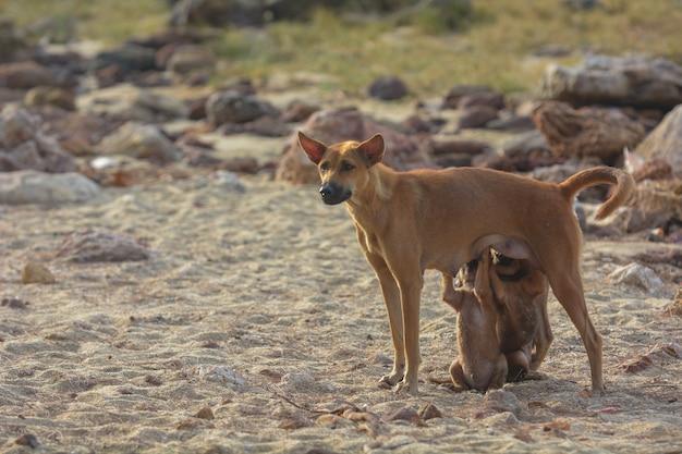 Cani che allattano