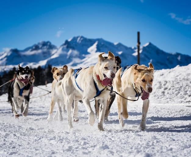 Cani da slitta nelle corse veloci