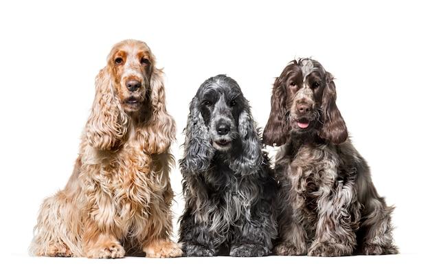 Cani di cocker spaniel del gruppo che si siedono contro il fondo bianco