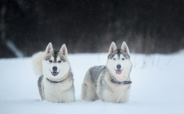 Cani husky siberiano in inverno. due fantastici cani husky in piedi sulla neve.