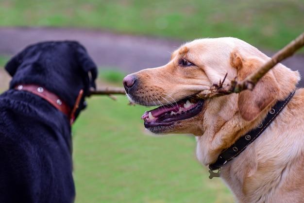 Cani labrador che giocano con un bastone nel parco