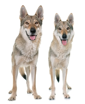 Cani lupo cecoslovacco