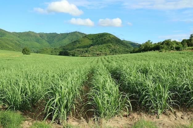 Canna da zucchero nei campi di canna con sfondo di montagna. natura e concetto di agricoltura.