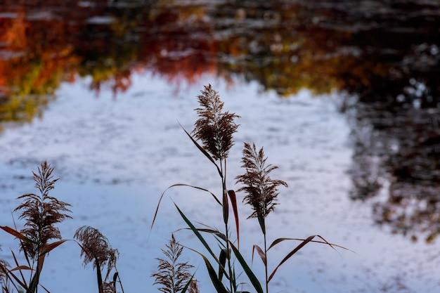 Canne sul lago
