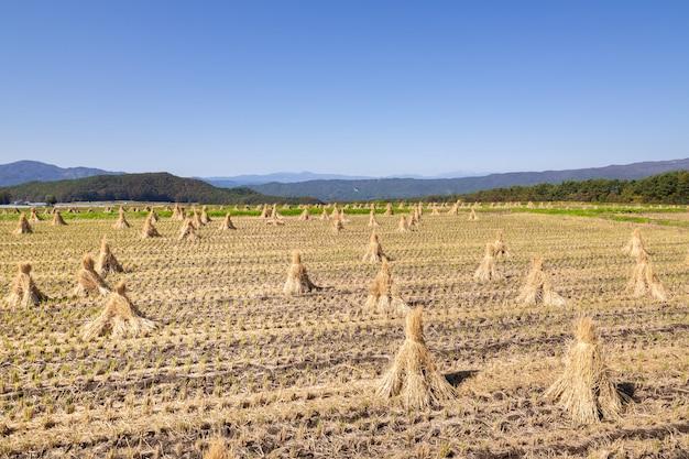 Cannucce di riso sul campo contro il cielo