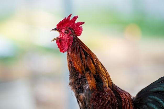 Canto del gallo al mattino