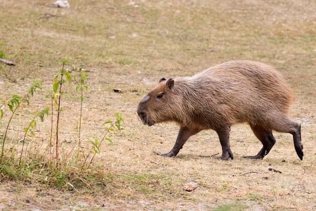 Capibara in fuga in una radura