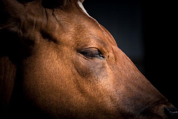 Capo della mucca cipriota (bos primigenius taurus)