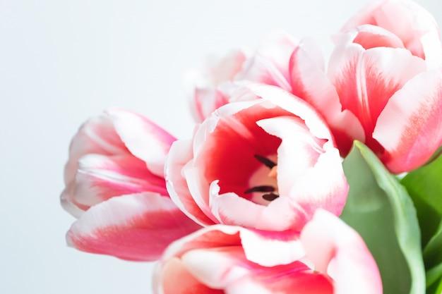 Capolino aperto del tulipano con lo spazio della copia. mazzo delicato di festa della primavera sulla parete bianca, orizzontale. modello per cartolina, banner
